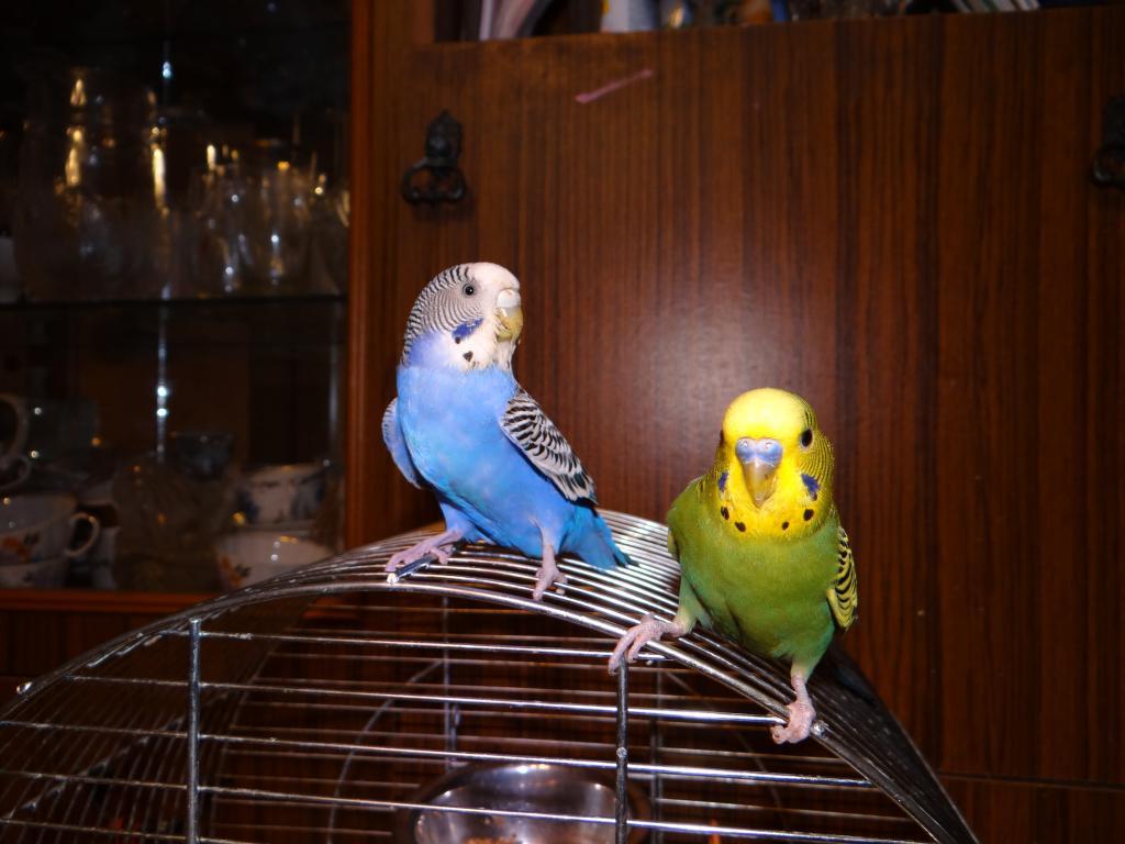 картинки попугаев волнистых самок назло